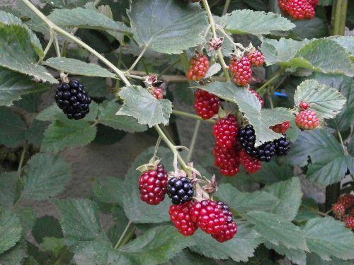 blackberry berry rubus