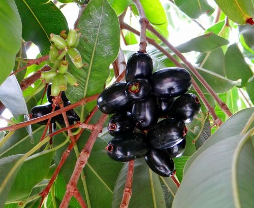 blackberry jamun syzygium cumini