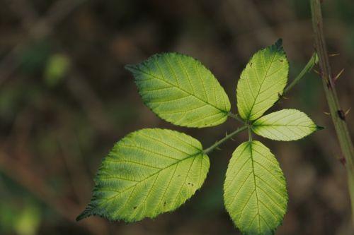 blackberry sheet autumn