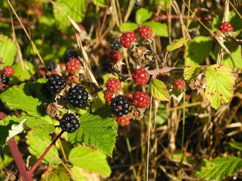 blackberry nature wild