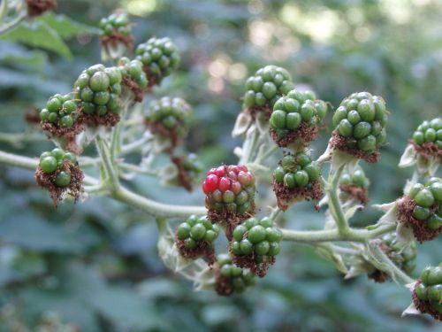 blackberry unripe berries fruit