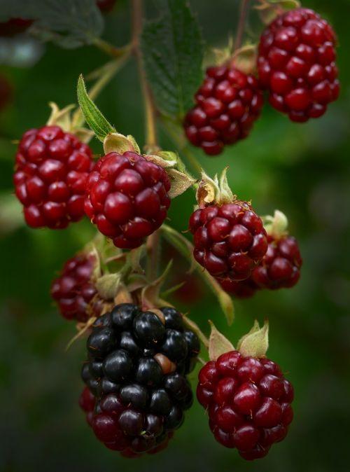 blackberry berries panicle