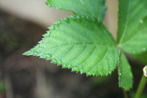 blackberry brombeerblatt green