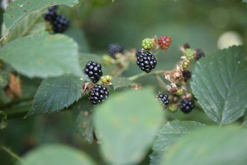 blackberry red green