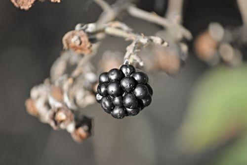 blackberry berry fruit fruit