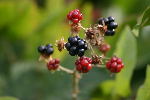 blackberry berry blackberries