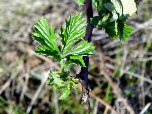 blackberry plant leaf