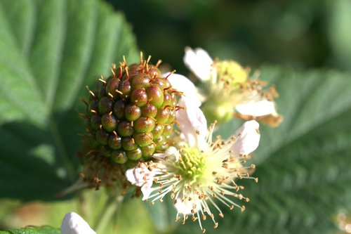 blackberry  fruit  immature