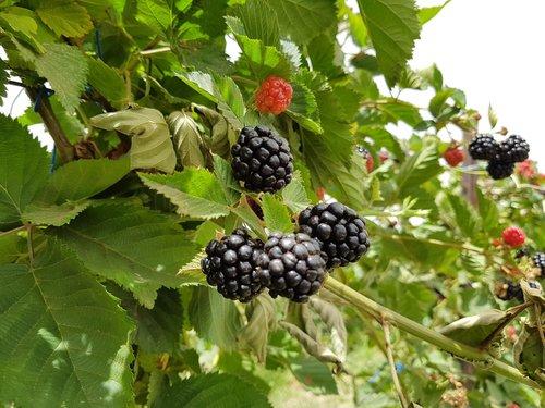 blackberry  plant  nature