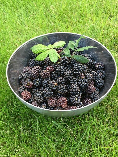 blackberry  höstskörd  nature