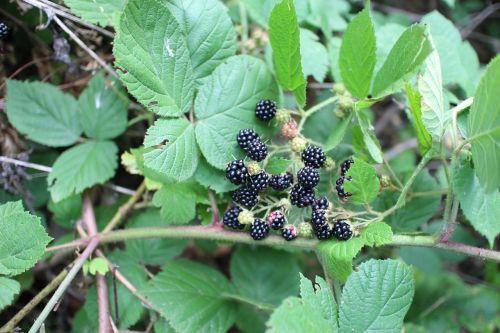 blackberry forest s