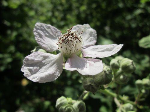 blackberry bramble shrub