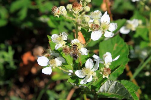 blackberry flowers rosaceae