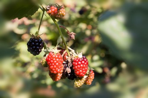 blackberry ripe immature