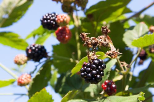 blackberry wasp ripe