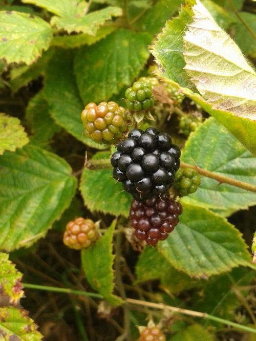 blackberry berries fruit