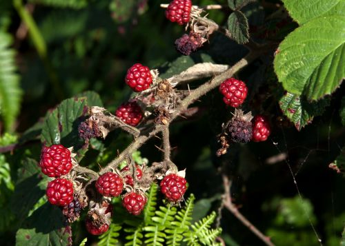 blackberry fruit delicious