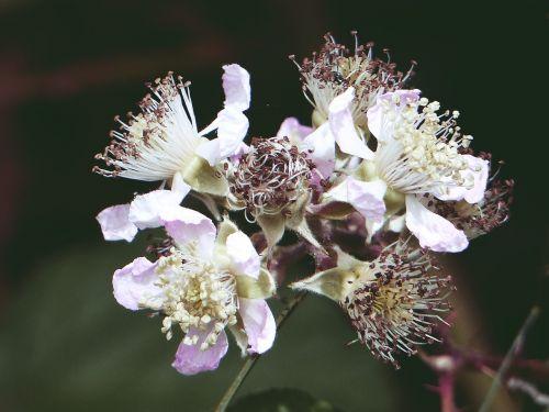 blackberry blossom nature summer