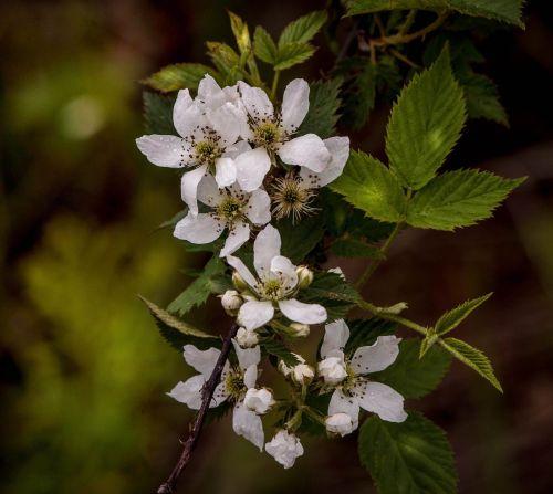 blackberry blossoms blackberry flowers fruit blossoms