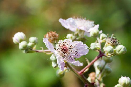 Blackberry Bush Blossom