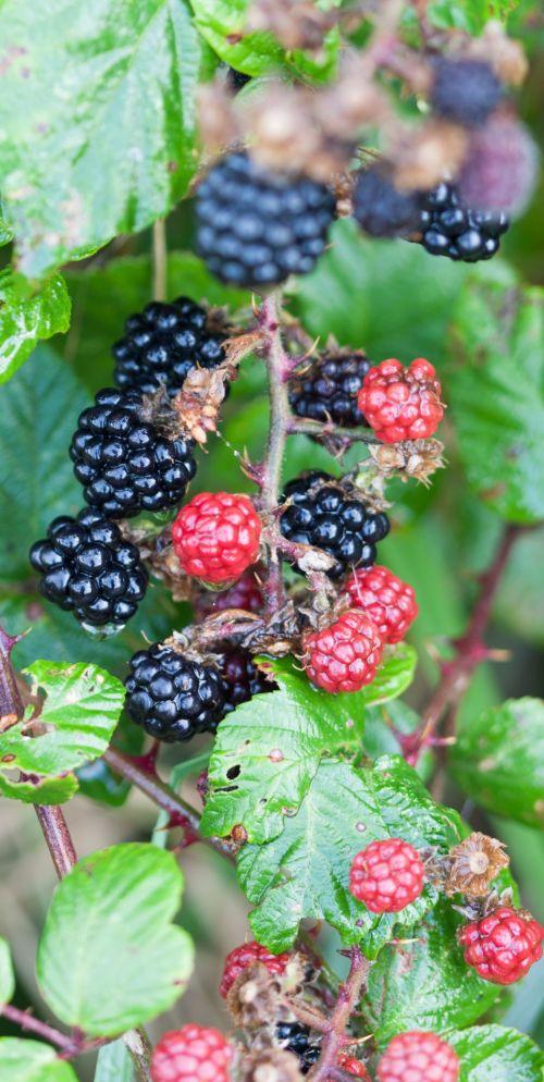 Blackberry Bush Macro Image