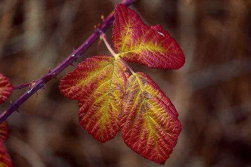 blackberry leaves  fall color  rubus sectio rubus