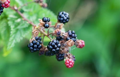 Blackberry On Bush Macro