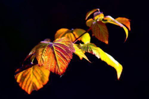 blackberry vine leaves back light