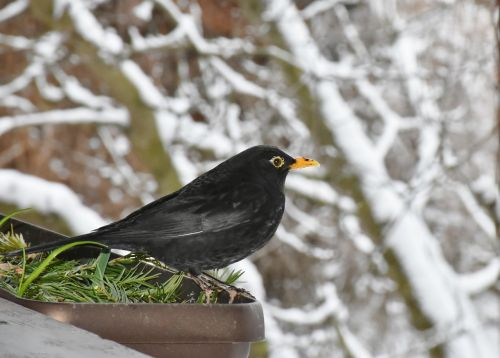 blackbird black bird