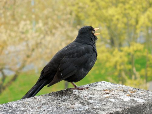 blackbird bird songbird