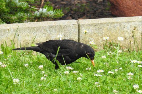 blackbird blackbird male bird