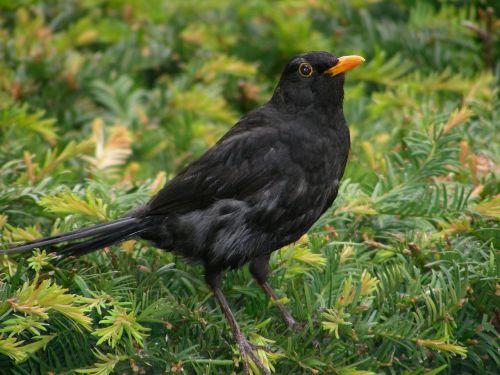 blackbird bird animal