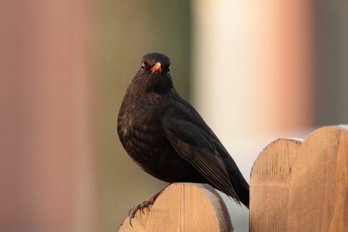 blackbird bird black