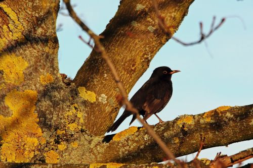 blackbird songbird bird
