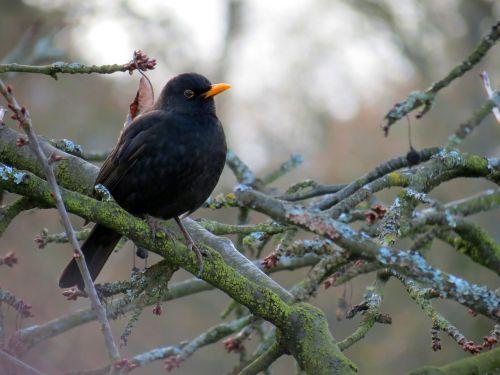 blackbird bird winter