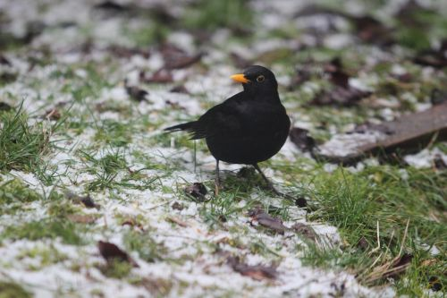 blackbird songbird winter