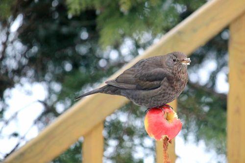 blackbird blackbird female food