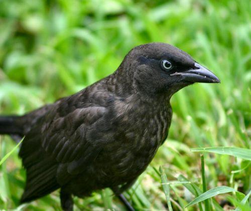 blackbird euphagus cyanocephalus brewers blackbird