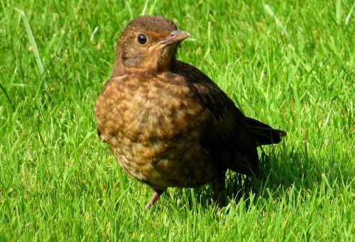 blackbird bird meadow