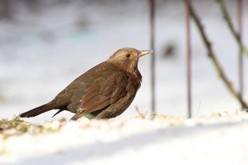 blackbird bird female
