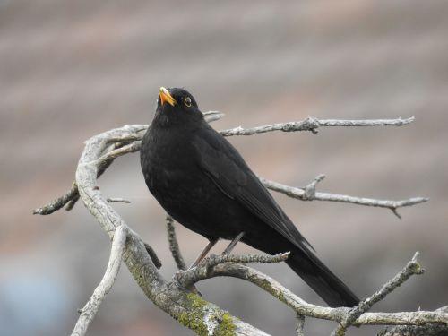 blackbird nature songbird