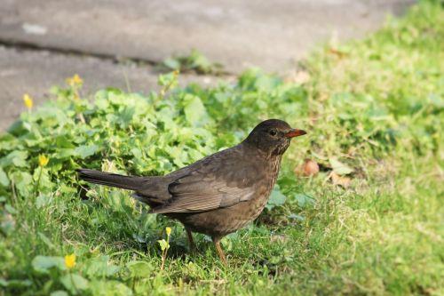 blackbird bird spring