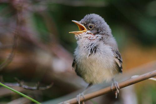 blackbird bird garden