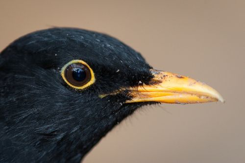 blackbird bird males