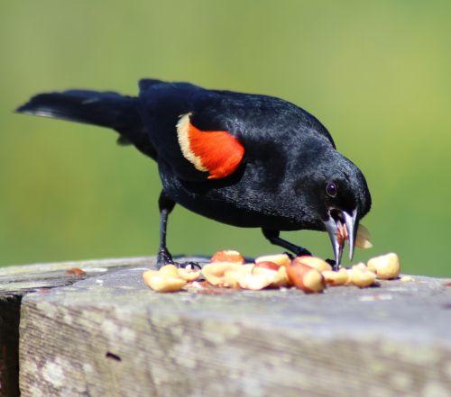 blackbird red wing