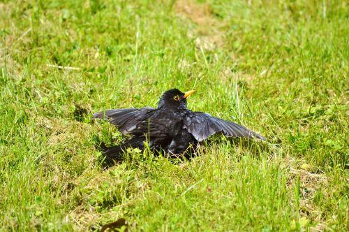 juoda paukštis,paukštis,giesmininkas,gyvūnas,juoda paukštis,žolė,pieva,gamta