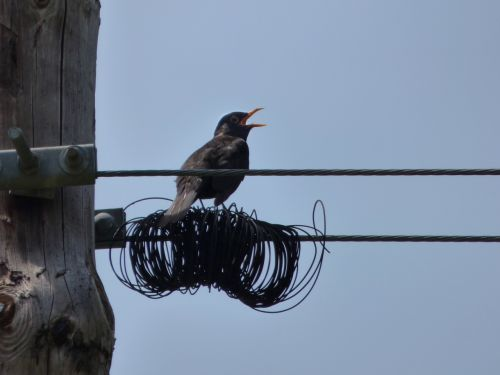 blackbird merla cables