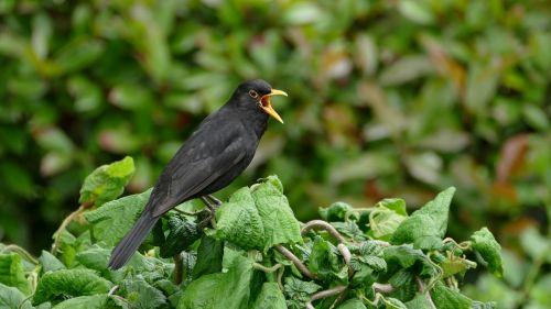 juoda paukštis,juoda paukštis,giesmininkas,sodas,juodasis paukštis,vasara,paukštis,gamta,geltonas snapas,jaunas paukštis