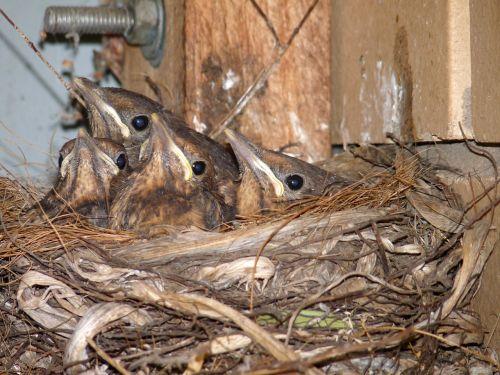 blackbird babies in