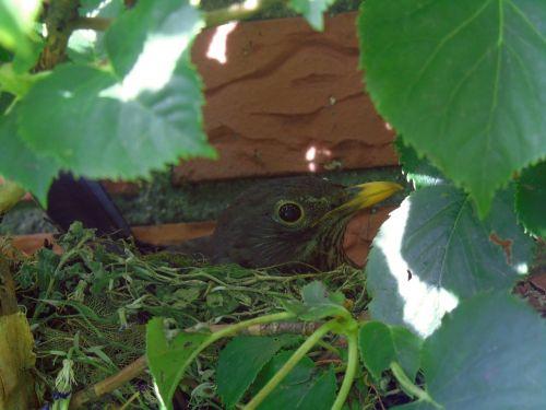 blackbird nest breed